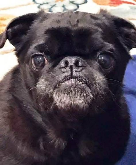 Check Out Pugkin Harvest Foster An Animal Learn Pet First Aid