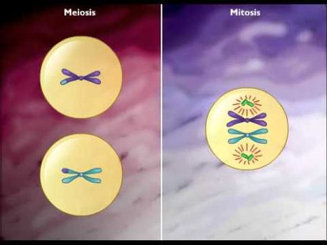 A website that CLEARLY states the difference between mitosis and meiosis in cellular reproduction! Finally!