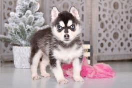 Pin By Petsdope On Husky Husky Puppy Siberian Husky Puppies Husky