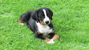 Appenzeller Sennenhund Appenzeller Sennenhund Dogs Small Dogs Dogs Kids