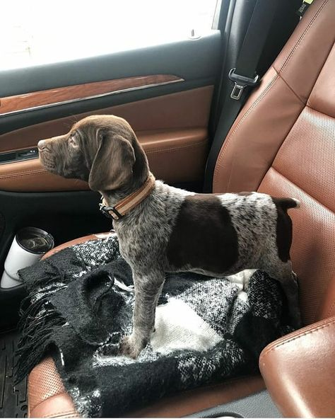 Dog Breeds Names .Dog Breeds Names Gsp Puppies, Pointer Puppies, Pointer Dog, Cute Puppies, Cute Dogs, Dog Breed Names, Dog Breeds, German Shorthaired Pointer, Hunting Dogs