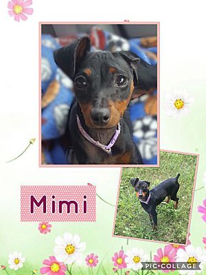 Fort Wayne In Miniature Pinscher Meet Mimi A Dog For Adoption