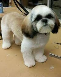 Image Result For Shih Tzu Haircuts Male Shihtzu Shih Tzu