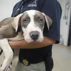 Pet Card Pitbull Terrier Bull Terrier Dog American Pitbull Terrier