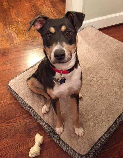 Atlanta Ga Beagle American Staffordshire Terrier Mix Dog For
