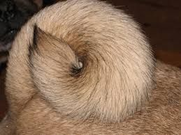 Image Result For Pug Tail Pugs Image Dogs