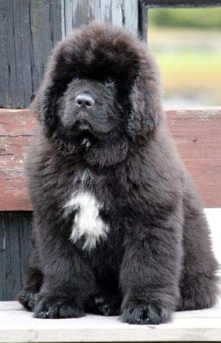 Pin By Kowz Of Rule On My Newfies Newfoundland Dog Puppy Dog Breeds Big Dogs