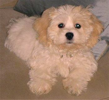 Bichon Frise Shih Tzu Dogs And Puppies In 2020
