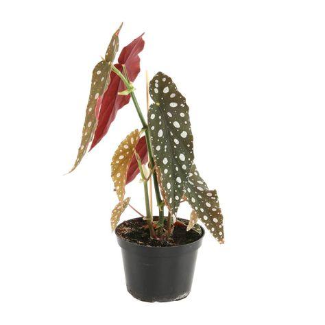 Begonia Tamaya Pot D 12cm Autres Marques Jardinerie Truffaut
