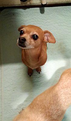 Freehold Nj Chihuahua Meet Pumpkin A Dog For Adoption Pet