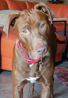 Austin Tx Labrador Retriever Meet Drax A Pet For Adoption Dog Breeds Labrador Retriever Pet Adoption