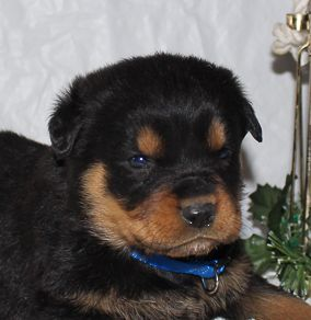 Cody A Playful Akc Male Rottweiler Puppy For Sale In Indiana
