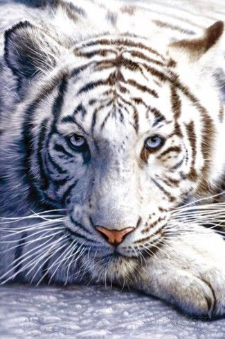Weisser Tiger Sophie Pet Tiger Animals Beautiful Animals