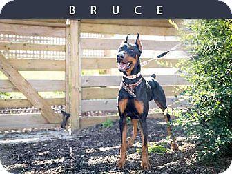 Toronto On Doberman Pinscher Meet Bruce A Dog For Adoption