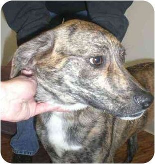Image Result For Whippet Terrier Mix Brindle With Images Plott
