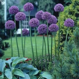6 Count Allium Bulbs 21401 Allium Flowers Plants Urban Garden