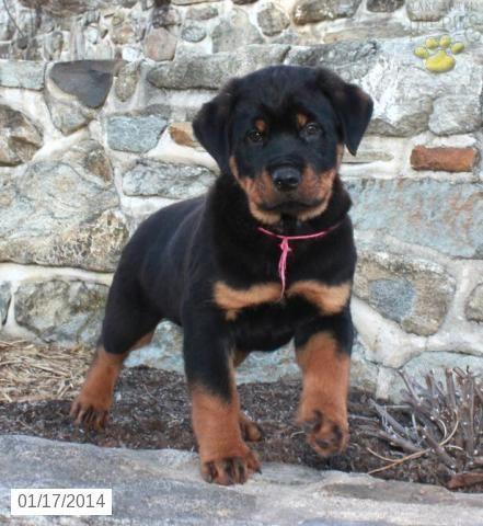 Rottweiler Puppy For Sal Rottweiler Puppy For Sale Rottweiler