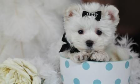 Maltese Teacup Puppies For Sale We Ship Very Safe Easy Financing Available Visit Our Website Teacuppuppiesstore Com Or Call 954 353 78 Teacup Puppies For Sale Teacup Puppies Puppies