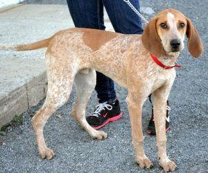 Prancer Is An Adoptable English Coonhound Dog In Lexington Ma