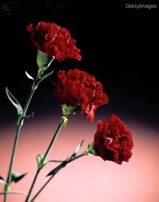 Junto Con Las Rosas Los Claveles Están Entre Las Flores Más Comercializadas En Todo El Mundo Acá Te Contamos Un Poco Claveles Jardines Tropicales Clavel Flor