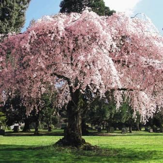 Weeping Cherry Burgess Seed Plant Co Weeping Cherry Tree Smoke Tree Potted Trees