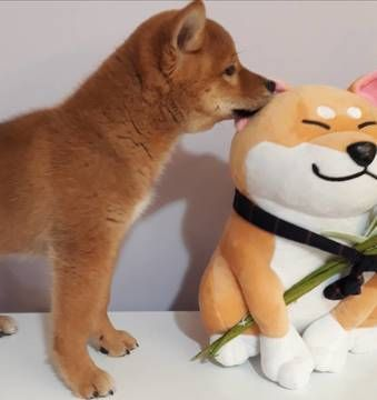 Shiba Inu Puppy For Sale In Los Angeles Ca Usa Adn 102820 On