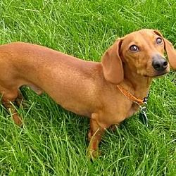 Available Pets At Dakota Dachshund Rescue In Sioux Falls South
