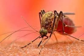 Plasmodium malária és annak életciklusa A malária plazmodium eritrocitikus formája