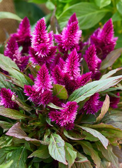 How To Grow Celosia In 2020 Celosia Flower Shade Loving Perennials Plant Gifts