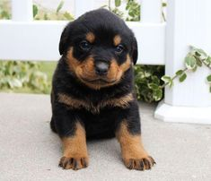 Untitled Dog Best Friend Forever Rottweiler Puppies For Sale