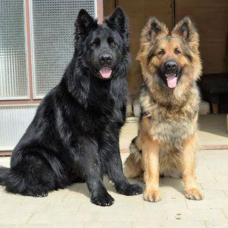 Welpen Adsco Altdeutscher Schaferhundeclub Osterreich Altdeutscher Schaferhund Schaferhunde Hundefotos