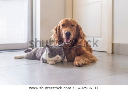 Stock Photo British Shorthair And Golden Retriever Get Along Well