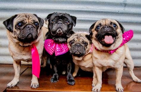 Win Tickets To Melbourne S First Pug Wedding Melbourne The