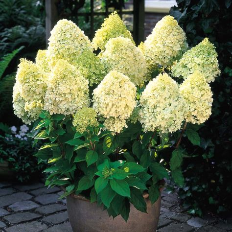 White Hydrangea Plants Bonsai Viburnum Macrophylla Flowers Garden 20 Pcs Seeds N Plants Seeds Bulbs Seeds Bulbs