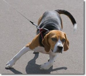 6 Effective Tricks To Make Your Dog Walk When He Refuses To With