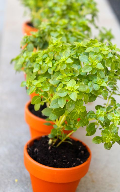 Tiny Boxwood Basil Plants Basil Plant Plants Growing