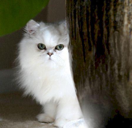Sweet Face Persian Cat Doll Face Persian Cat Cats