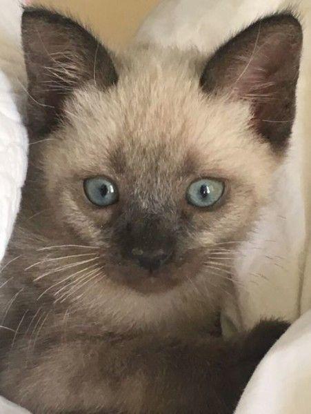 Phoenix Siamese Cat For Adoption In Elk Grove California Cat Adoption Siamese Cats Cats