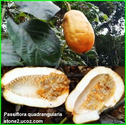 انواع نبات زهرة الالام او زهرة العاطفة Passiflora قوائم النبات قوائم النبات معلومات نباتية وسمكية معلوماتية Food Passiflora Cheese