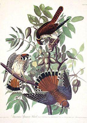 Crécerelle d'Amérique / American sparrow hawk. Audubon