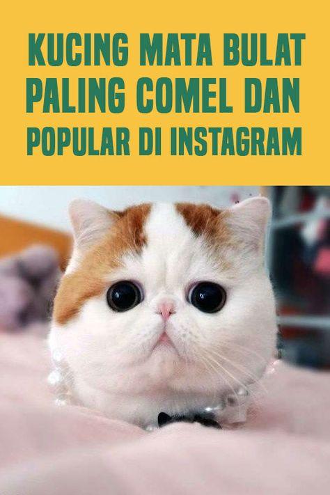 10 Gambar Cute Kucing Mata Bulat Paling Comel Di Dunia Bulatnye Mata Die Haiwan Haiwan Kucing Dan Instagram