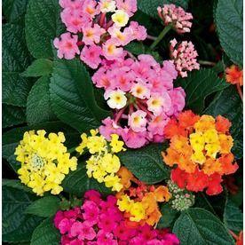 3 58 Gallon Container Lantana L6708 Nursery Lantana Flower Pots Diy Container Gardening