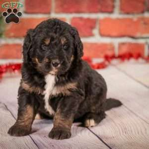Bernedoodle Puppies For Sale In 2020 Bernedoodle Puppy Greenfield Puppies Puppies