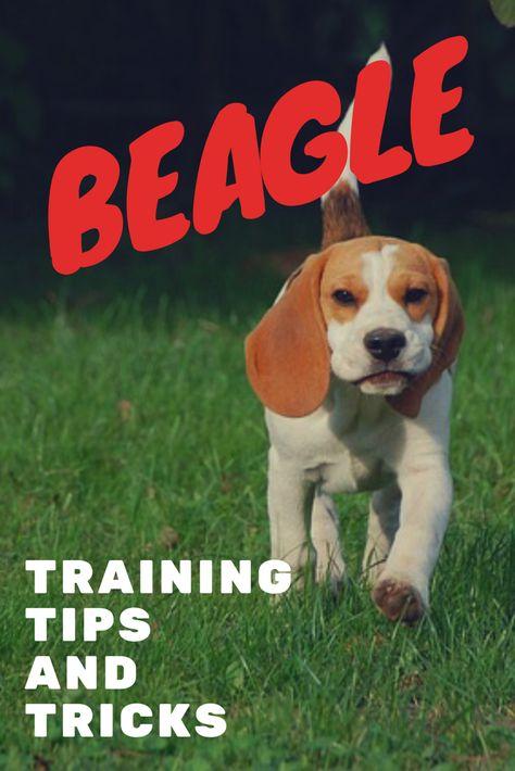 How To Train A Beagle Beagle Beagle Puppy Puppies Tips