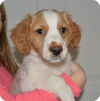Mechanicsburg Pa Brittany Golden Retriever Mix Meet Manu A Puppy For Adoption Pets Animal Help Adoption