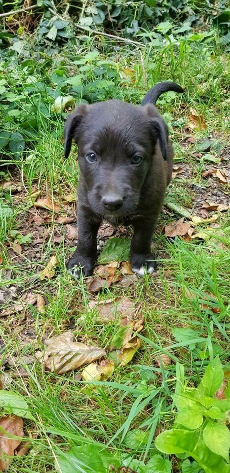 Susse Australian Shepherd Labrador Welpen Aussiedor In Bayern Spiegelau In 2020 Australian Shepherd Labrador Welpen