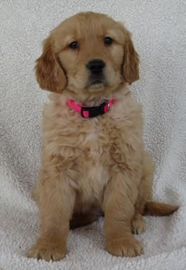Puppies By Spiller On Cute Golden Retriever Puppies For Sale