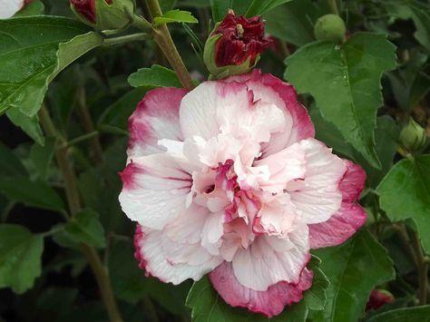 240 Best Flowering Shrubs Trees Vines Images Flowering Shrubs
