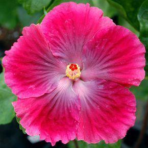 Hibiscus Ruby Tuesday Hibiscus Hibiscus Plant Hibiscus Flowers
