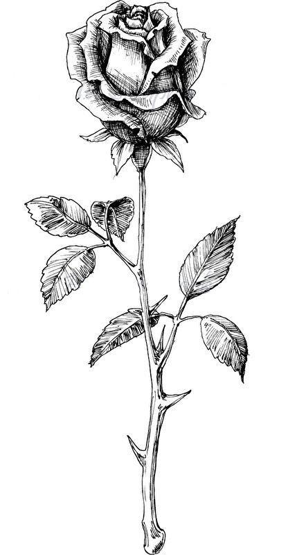 Pin By Rashod On Tattoos Rose Sketch Roses Drawing Rose Drawing Tattoo